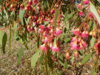 Eucalyptus leucoxylon ssp megalocarpa - white ironbark
