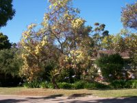 Eucalyptus macranda - long flowered marlock