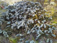 Eucalyptus rhodantha - rose mallee