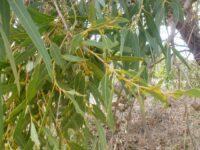 Eucalyptus todtiana - blackbutt