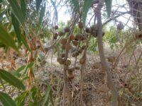 Eucalyptus todtiana - blackbutt gumnuts