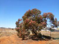 Eucalyptus torquata - coral gum