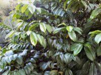 Eupomatia laurina - copper laurel