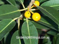 Ficus platypoda is an Australian native with edible fruit