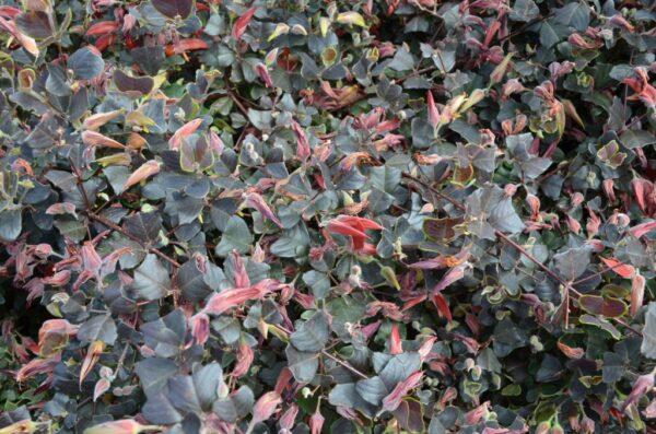Gastrolobium praemorsum - 'Brown Butterfly'