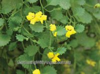 Goodenia ovata hop goodenia 'Gold Trail'