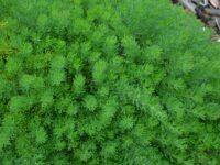 Grevillea crithmifolia has scented flowers