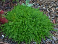 Grevillea crithmifolia is a great australian groundcover plant