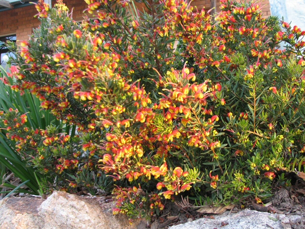 Grevillea fire cracker gardening with angus for Plants that live long