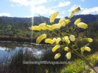 Grevillea flexuosa zig-zag grevillea
