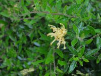 Grevillea juniperina x rhyolitica 'Gold Fever' is a great australian ground cover plant