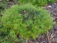 Grevillea 'Grassfire' is a good ground cover plant