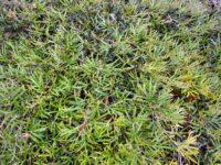 Grevillea 'Grassfire'