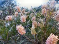 Grevillea hybrid 'Misty Pink'