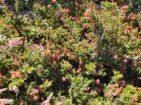 Grevillea hybrid 'New Blood'