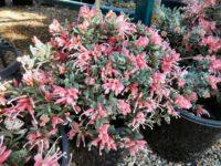 grevillea lavandulacea cross alpinia jelly baby is a beautiful hardy plant