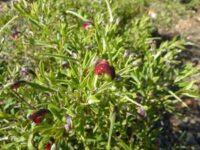 Grevillea montana