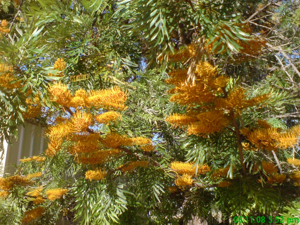 Small Pot Plants Grevillea Robusta Silky Oak Gardening With Angus