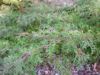 Grevillea 'Bronze Rambler'