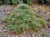 Grevillea 'Bronze Rambler' is a great ground covering plant that attracts birds