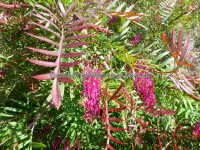 Grevillea - 'Burgundy Blaze' has bronze new growth
