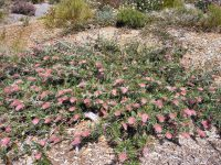 Grevillea 'Carpet Layer' is an excellent drought tolerant groundcover