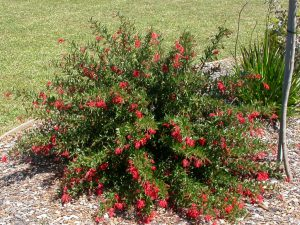 Grevillea Lady O is good for cooler climates