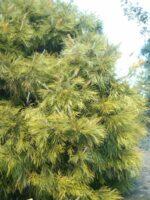 Grevillea 'Lime Spider'