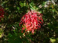 Grevillea 'Robyn Gordon' is one of the best grevilleas