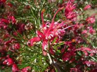 Grevillea 'Scarlet Sprite'