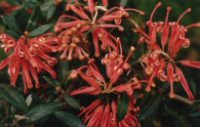Grevillea 'Tucker Time Winter Feast'