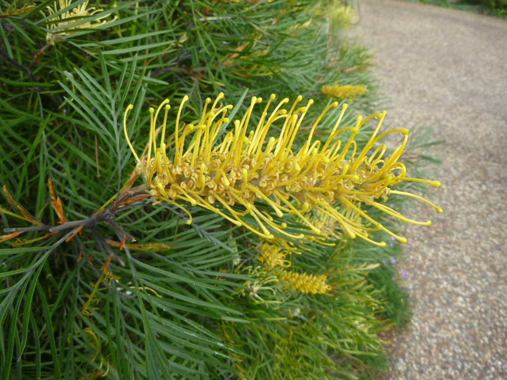 Grevillea Wattlebird Yellow Gardening With Angus