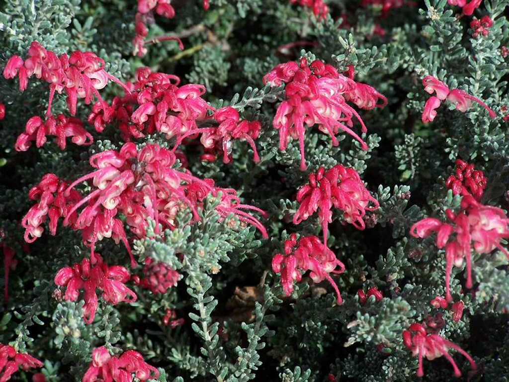 Grevillea 'Winter Delight'