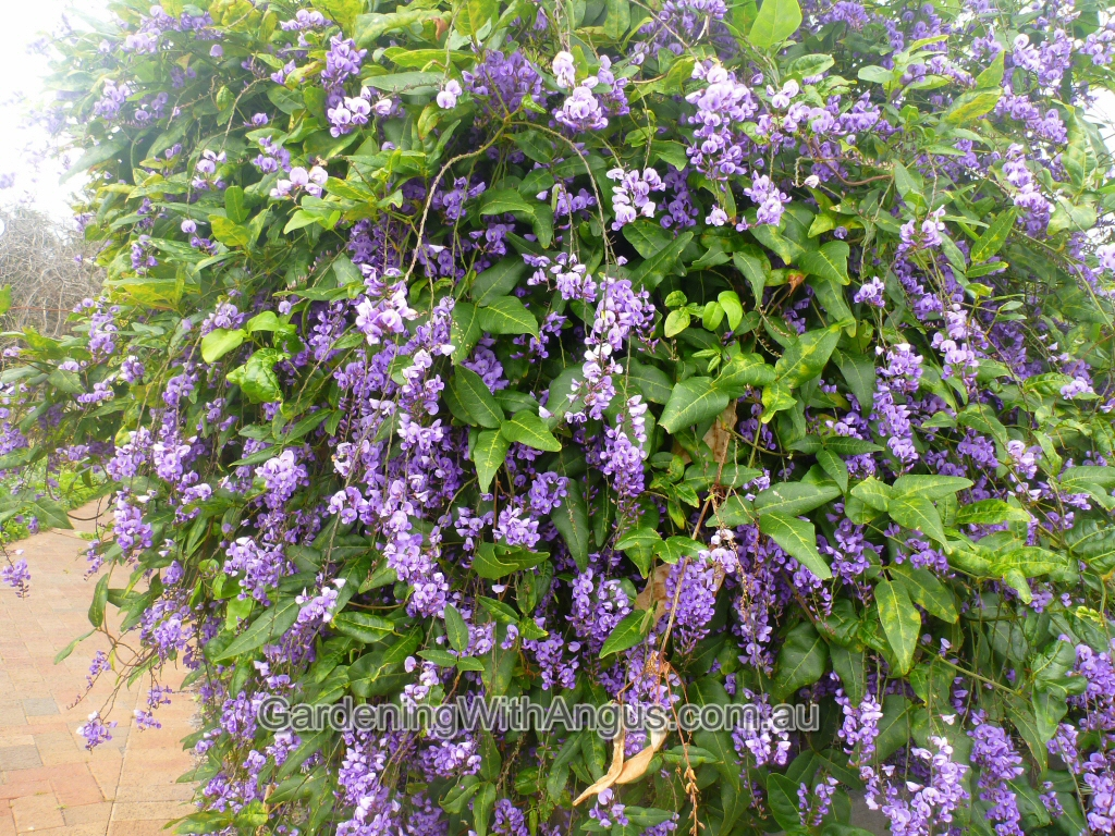 Hardenbergia comptoniana native wisteria gardening for The wisteria