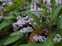 Hardenbergia violaceae 'Free And Easy'