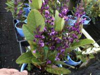 Hardenbergia violaceae native wisteria 'Bushy Blue'