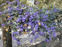 Hardenbergia violaceae native wisteria 'Edna Walling Wild Wisteria'