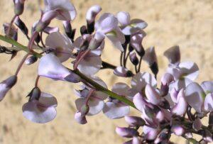 Hardenbergia violaceae native wisteria 'Free n 'Easy'