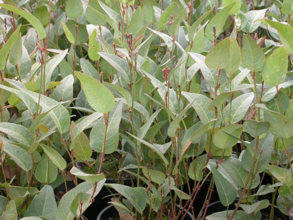Hardenbergia violaceae native wisteria 'Regent'