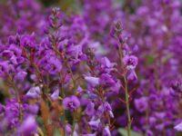 Hardenbergia violacea 'Sea of Purple'