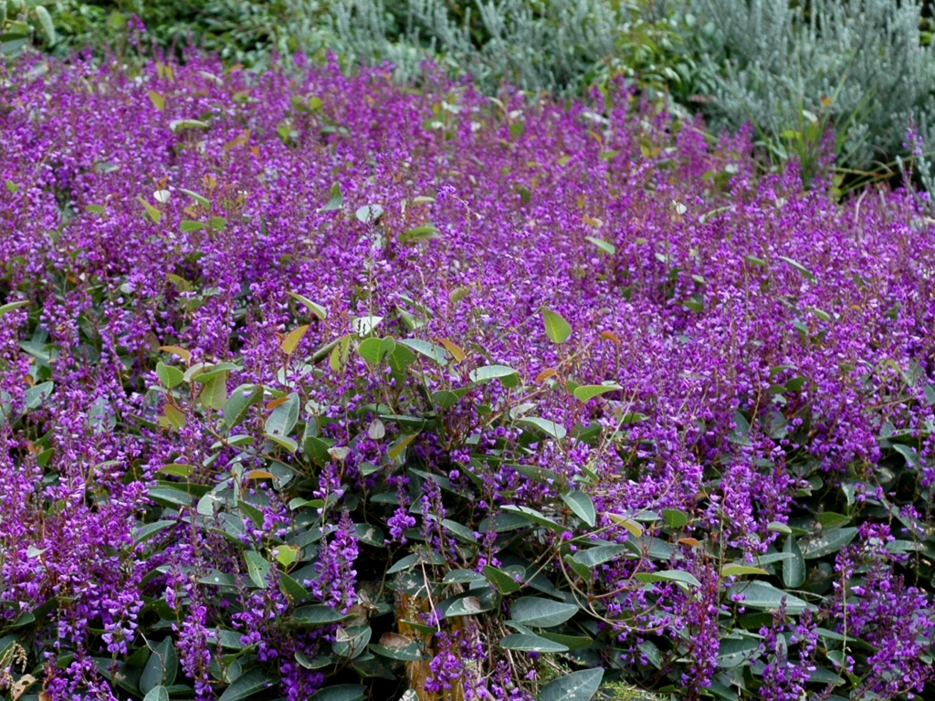Great ground covers for your garden gardening with angus for Ground cover plant with purple flowers