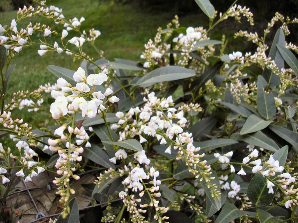Hardenbergia violaceae native wisteria 'Snow White'