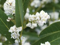 Hardenbergia violaceae native wisteria 'White Out'