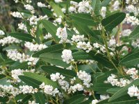 Hardenbergia violaceae native wisteria 'White Out'