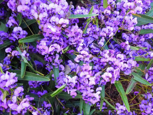 Hardenbergia violaceae native wisteria 'Happy Wanderer'