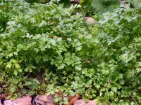 Healthy parsley plant