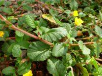 Hibbertia grossularifolia - guinea flower