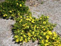 Hibbertia 'Golden Sunburst'
