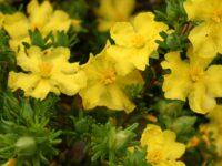 Hibbertia guinea flower 'Golden Sunburst'
