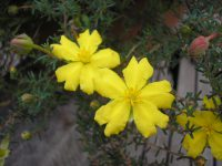 Hibbertia guinea flower 'Sun Drops'
